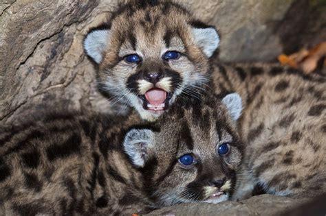 Kostenloses Foto: Berglöwen, Jungen, Babys, Tierwelt