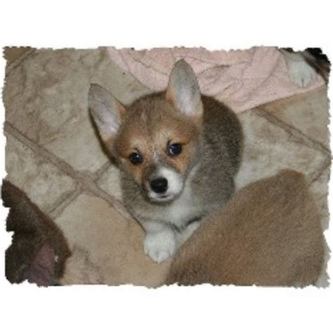 corgi puppies for sale oklahoma l bar s corgis pembroke corgi breeder in prague oklahoma listing id 15143