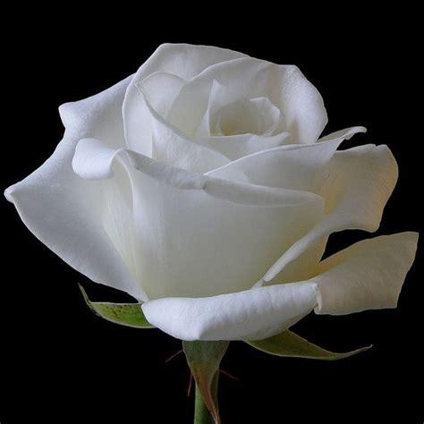 imagenes de rosas blancas animadas image gallery imagenes de rosas blancas