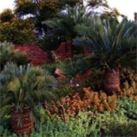 tipi palme da giardino palma nana cycas revoluta cycas revoluta piante da