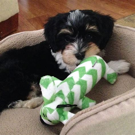 havanese stuffed animal havanese puppy ollie goes home havs of havre de grace