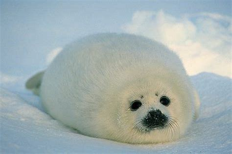 baby seal pup 17 best images about harp seal on cutest baby
