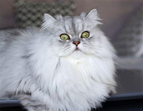 persiani chinchilla chinchilla perser der charakter dieser katze holidogtimes