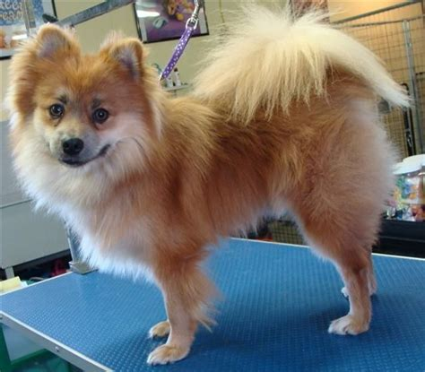 can i shave my pomeranian pomeranian before after fox cut trimming no shave my