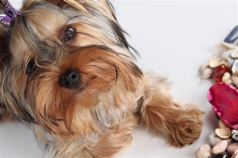 how much should i feed my yorkie puppy how much should weigh terrier 6 months tips for your