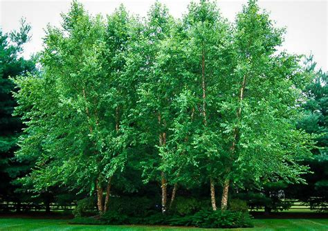the trees dura heat 174 river birch the tree center