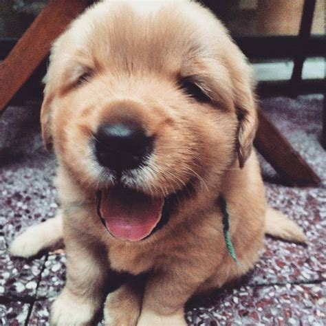 imgur golden retriever 8 reasons boyfriends are actually puppies cus
