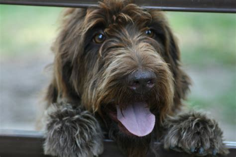 griffon dogs the funniest wirehaired pointing griffon photo and wallpaper beautiful the
