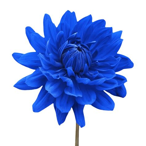 Blue Flowers by White Flower Png Blue Dahlia Flower White Background