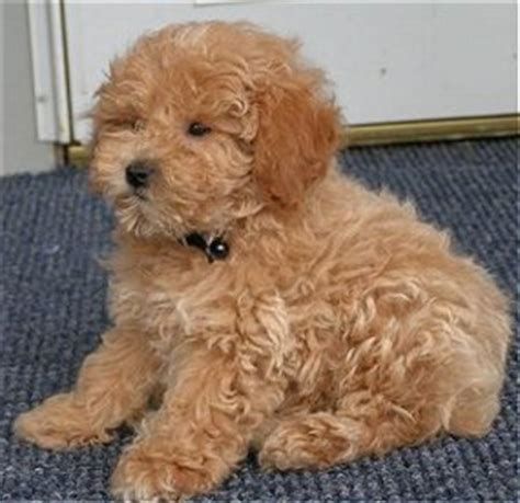 curly hair puppy big brown fluffy breeds breeds picture