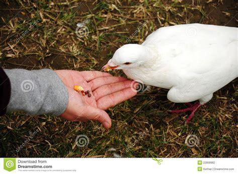 feeding pigeon stock photography image 22858982