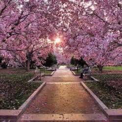 washington dc cherry trees beautiful pics pinterest
