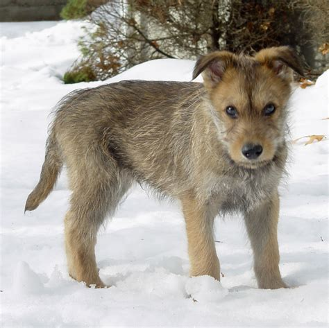 berger picard puppies berger picard puppies rescue pictures information temperament characteristics