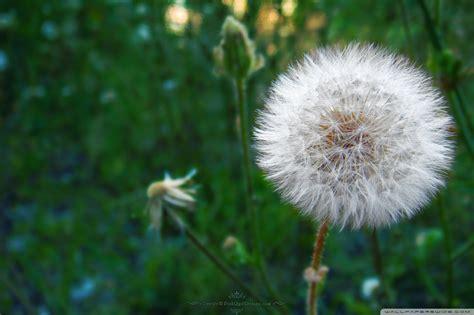 dandelion blowball  hd desktop wallpaper   ultra hd