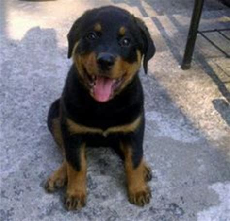 17 week rottweiler 1000 images about rotties on rottweilers rottweiler puppies and
