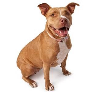 american pitbull terrier colors breeds