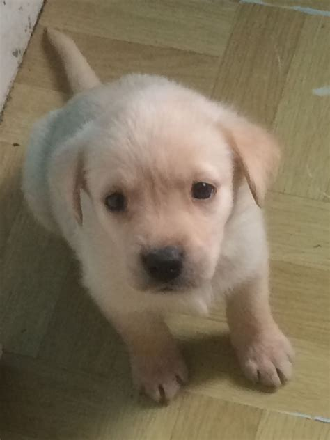 golden labrador puppies for sale golden labrador puppies for sale southton hshire pets4homes