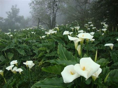 fiore la calla fiore calla fiori di piante calla fiore