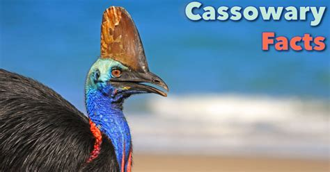 cassowary facts for kids information pictures amp video