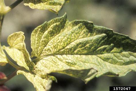 nutrient deficiency  garden tomato solanum lycopersicum
