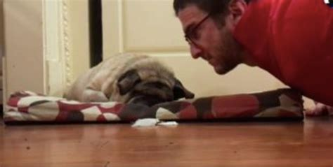 blindness in pugs this family s pug is blind but their special way of waking him up