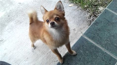chipom puppies our pomchi chipom our fox the cutest thing