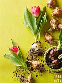 forcing tulip bulbs bulb forcing basics
