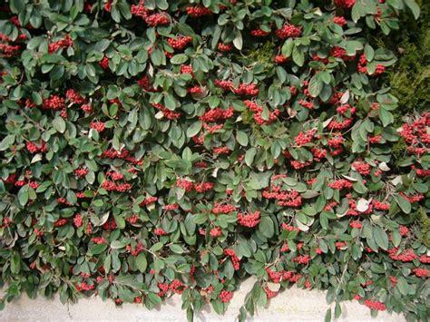 imagenes de rosas trepadoras plantas trepadoras para pergolas rosas trepadoras blancas
