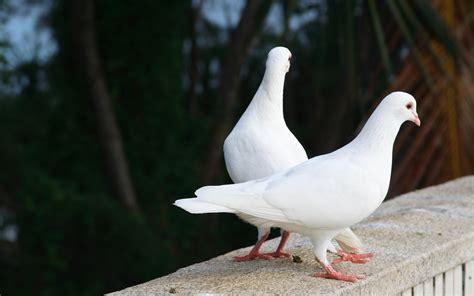 imagenes palomas blancas volando palomas blancas hd 2560x1600 imagenes wallpapers