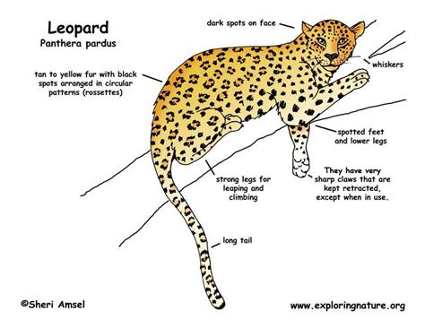 cheetah food chain diagram snow leopard food chain diagram