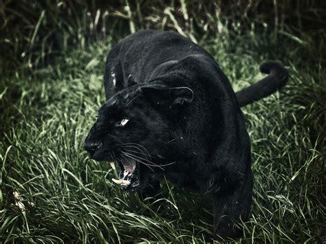 black leopard noir