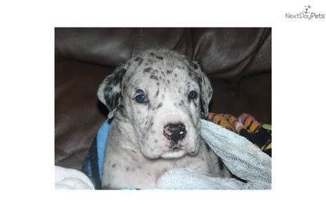 great dane puppies california great dane puppies northern ca breeds picture