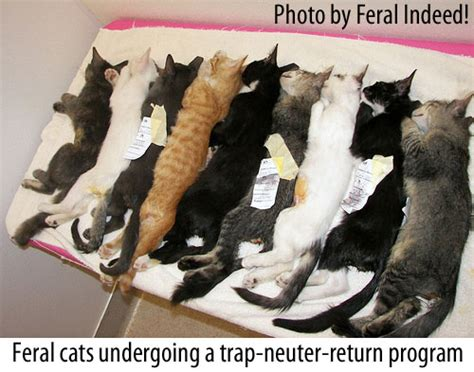 how to a feral how to trap a feral cat without cats