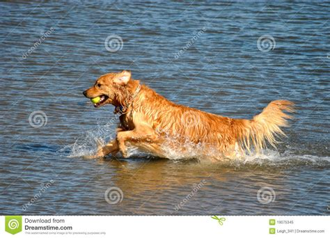 golden retriever in water golden retriever in water stock image image of carries 19075345