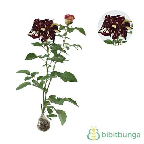 Batik Stripe Daun Hdt tanaman mawar batik kuning yellow striped jual tanaman hias