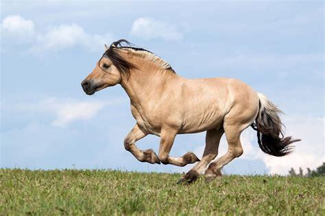 fjord paard fjordenpaard paarden pro