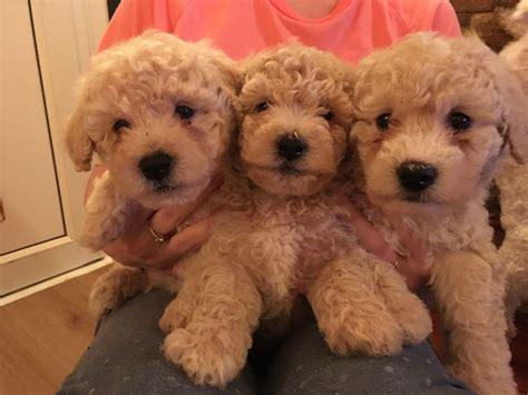 bichon poodle puppies for sale 5 poochon bichon frise poodle puppies for sale stockport greater manchester