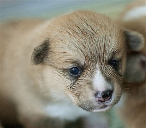 how much do corgi puppies cost corgi puppy images png