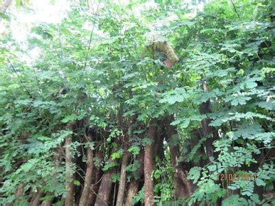 Bibit Trembesi tanaman kita bibit trembesi samanea saman untuk penghijauan