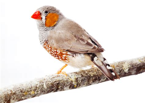 bird graphics zebra finch 888067 bird graphic gif