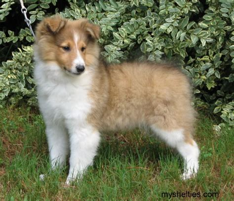 sheltie puppies for sale in ga shelties puppies for sale in breeds picture