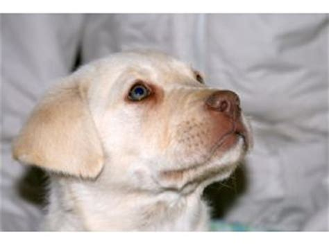 golden retriever puppies for sale central florida golden labrador retriever puppies for sale in florida
