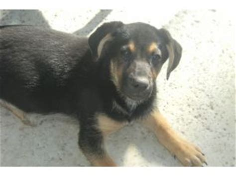 rottweiler german shepherd mix puppies for sale german shepherd puppies for sale