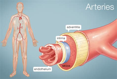 what color are arteries the rule of the artery is supreme classical