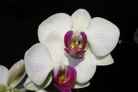 orchidea fiore cura fiori orchidea fiori delle piante