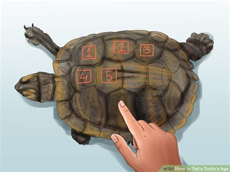 how to determine age how to determine a turtle s age reptile gallery