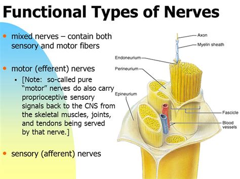 sensory motor and mixed nerves chapter 13 the peripheral nervous system and reflex