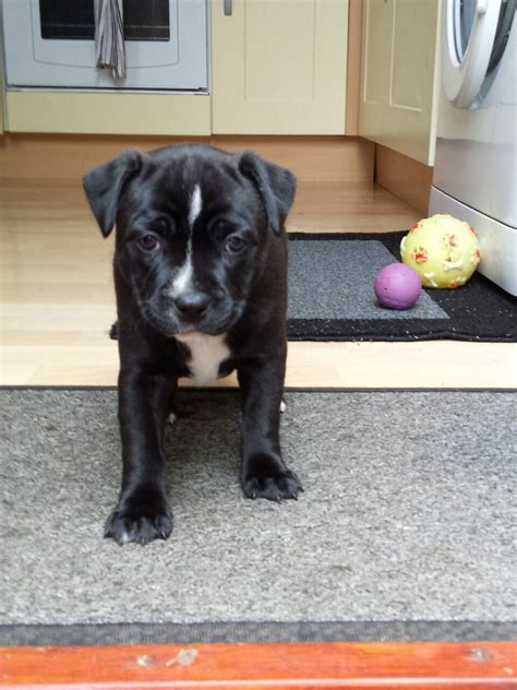 staffordshire puppies for sale staffordshire puppies for sale bristol bristol pets4homes