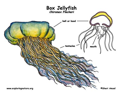 diagram of a jellyfish diagrams of sea lions cycle sea otter cycle