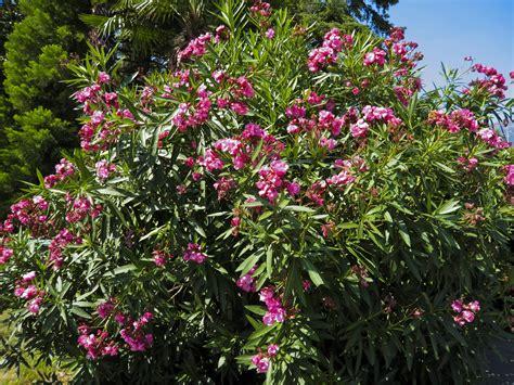 Indoors Garden by Rejuvenation Pruning Of Oleander Bushes How To Trim